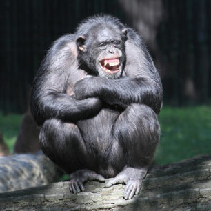 Chimpanzee personality linked to anatomy of brain structures   animals and prosocial capacities   Scoop.it