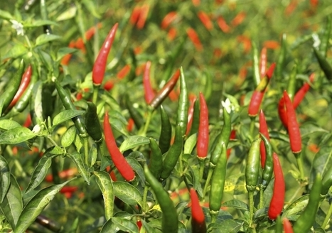 Top 10 hottest peppers in the world: plus 10 more! | HellaWella | Diary of a serial foodie | Scoop.it