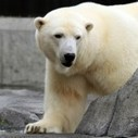 An inconvenient truth: More polar bears alive today than 40 years ago   oAnth's day by day interests - via its scoop.it contacts   Scoop.it
