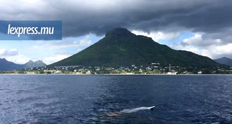 Au large de Tamarin: un dauphin blessé attaqué par un requin @offshorebroker @investorseurope | Investors Europe Mauritius | Scoop.it