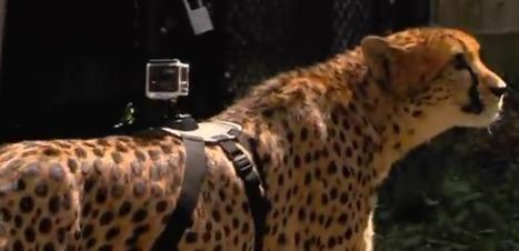 VIDEO. La course d'un guépard observée au plus près grâce à une caméra GoPro | Biodiversité | Scoop.it