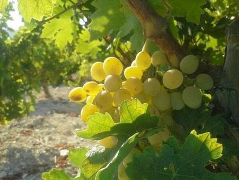 CyprusWines: Harvest on the horizon ... | Wine Cyprus | Scoop.it