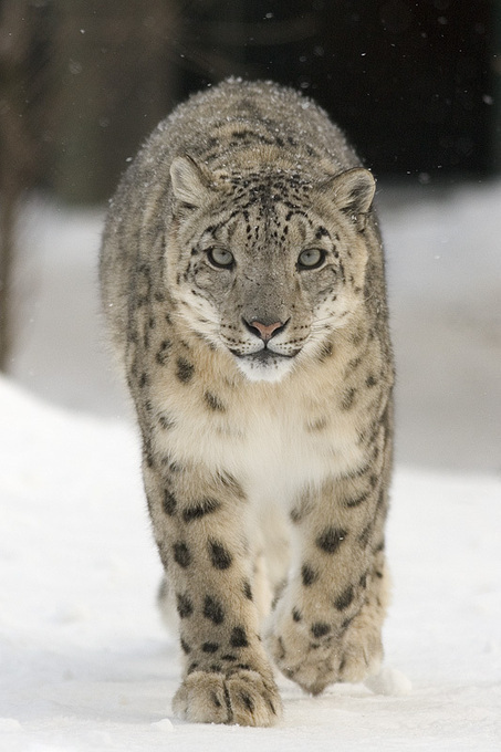 For Bhutan, it Takes a Community to Save the Snow Leopard - National Geographic | Cats Rule the World | Scoop.it