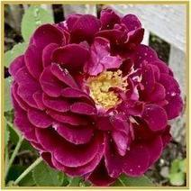 My Victorian Garden in Summer: Growing Heirloom and Old-Fashioned Roses | Gardening with Heirloom Plants | Scoop.it