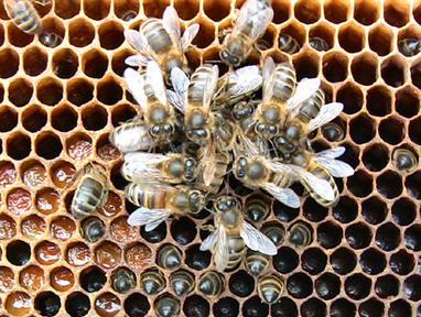 Résultats des analyses effectuées sur des prélèvements d'abeilles et de pollen, réalisés au printemps 2014 sur des ruches placées en zone fruitière dans les Monts du Lyonnais | Le jardin stagirite | Scoop.it