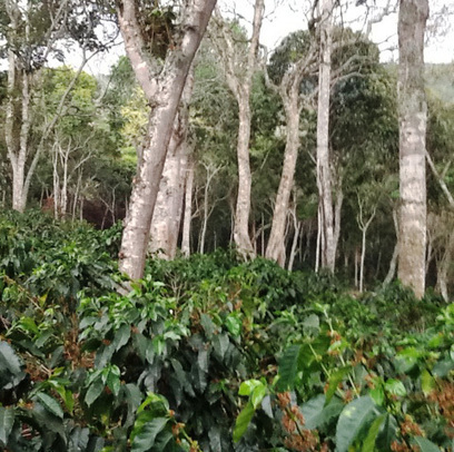 Collaborating for Sustainable Coffee in Colombia | Rainforest EXPLORER:  News & Notes | Scoop.it