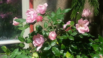 """Knock Out® Roses make a """"Brilliant"""" Appearance at Philadelphia Flower Show 