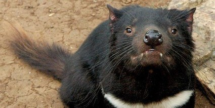Tasmanian Devils Developing Resistance to Transmissible Cancer | The Scientist Magazine® | Longevity science | Scoop.it