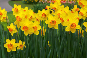 Don't take daffodils for granted | Dirt Du Jour | Annie Haven | Haven Brand | Scoop.it