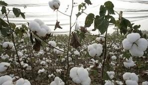 Le Burkina dit stop aux OGM de Monsanto | Afrique, une terre forte et en devenir... mais secouée encore par ses vieux démons | Scoop.it