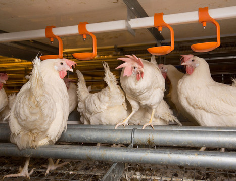California hens are flapping their wings over this act in Congress | Food issues | Scoop.it