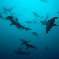 Total of 79 Potentially New Shark Species Found: Scientific American | All about water, the oceans, environmental issues | Scoop.it