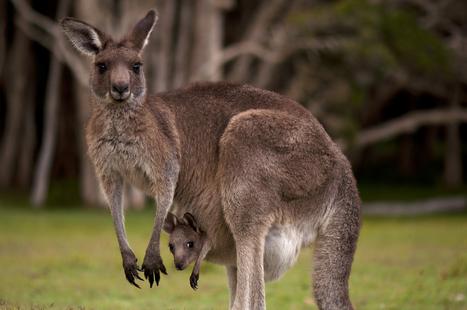 Fun Facts About Kangaroos | Red Kangaroos | Scoop.it