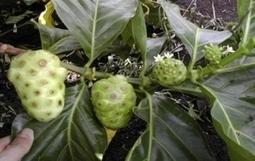 Un fruit antioxydant, le noni, livre toutes ses vertus revitalisantes | Les aliments et leurs vertus | Scoop.it