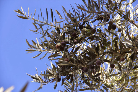 Lazy Blog: Los aceites de oliva virgen extra de cosecha temprana | SCA S. Isidro Labrador CASIL (Marchena-Sevilla) | Scoop.it