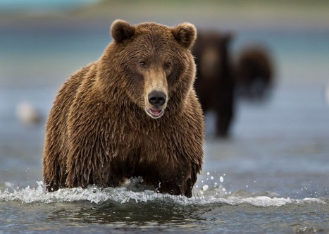 Brown Bears of Alaska 2013 | Jennifer Wu Photography | Alaska Tourism | Scoop.it