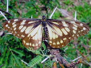 Mariposa más antigua del mundo, en peligro de extinción :: El Informador | Agua | Scoop.it