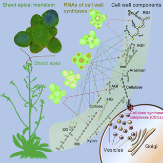 Regulation of Meristem Morphogenesis by Cell Wall Synthases in Arabidopsis: Current Biology | fundoshi TOPICS: Plant biology, cell biology, and more | Scoop.it