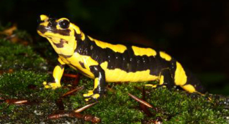 Deadly skin-eating fungus is wiping out fire salamanders | MMS Physical Science | Scoop.it