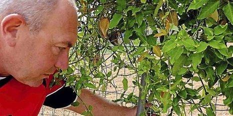 Frontignan : la plante tueuse d'insectes repérée chemin des Pielles   Les colocs du jardin   Scoop.it
