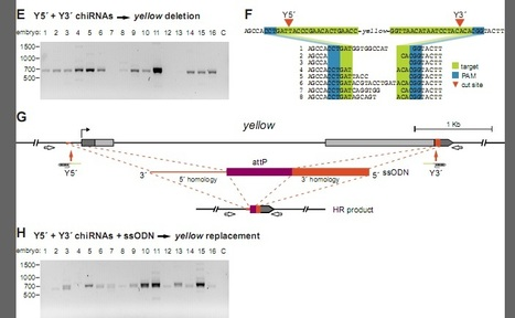 Genome engineering of Drosophila with the CRISPR RNA-guided Cas9 nuclease | CRISPR-Cas System for Eukaryotic Genome Engineering | Scoop.it
