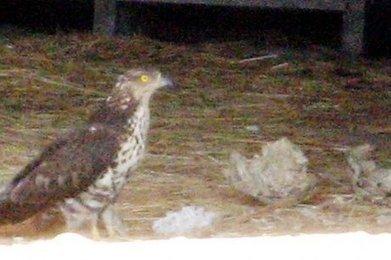 Gironde : fait rarissime, un rapace dévore un nid de frelons asiatiques | EntomoNews | Scoop.it