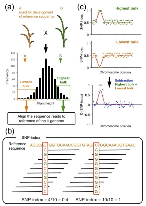 Plant J: QTL-seq: Rapid mapping of quantitative trait loci in rice by whole genome resequencing of DNA from two bulked populations (2013) | Publications | Scoop.it