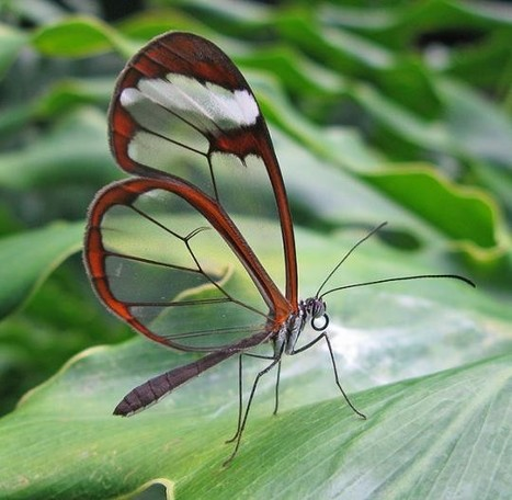 Beautiful transparent butterfly   Simply beautiful   Scoop.it