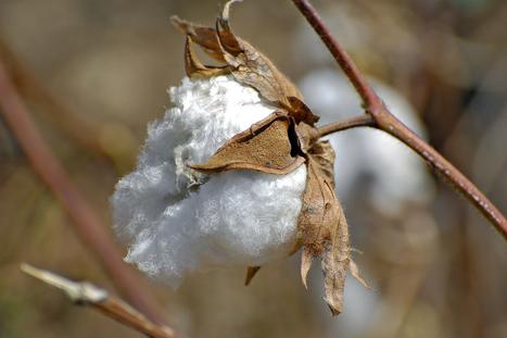 Les OGM filent un mauvais coton au Burkina Faso | Les colocs du jardin | Scoop.it