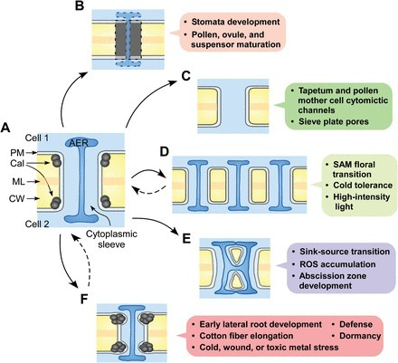 Plasmodesmata in integrated cell signalling: insights from development and environmental signals and stresses | Plant Biology Teaching Resources (Higher Education) | Scoop.it