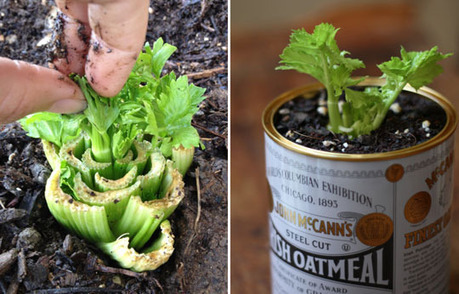 Re-Growing Celery | Gardening Life | Scoop.it