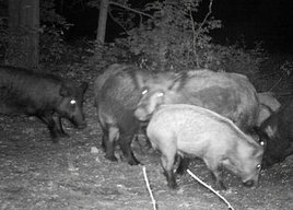 Farmers' new scourge: Swarms of reproducing, rampaging swine | Charlotte Observer | North Carolina Agriculture | Scoop.it