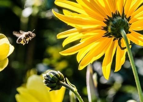 Abeilles : la nouvelle espèce en voie de disparition | De l'économie verte à l'économie bleue | Scoop.it