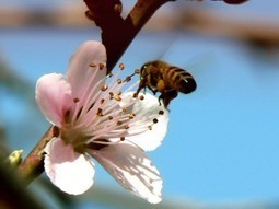 There is no 'bee armageddon': Misguided neonics ban threatens honeybees and farming | Genetic Literacy Project | Chemistry Regulation | Scoop.it