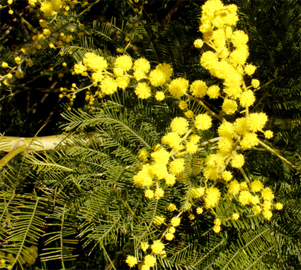 Another wattle 'problem' | Australian Plants on the Web | Scoop.it