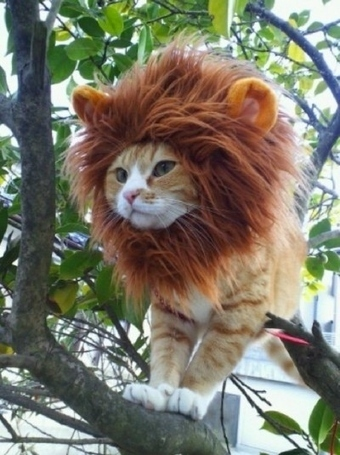 The Lion Cat | Free HD Desktop Wallpapers Download Online | Funny Pic And Wallpapers | Scoop.it