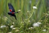 Tricolored blackbird population falling at alarming rate | Environment and Wildlife | Scoop.it