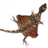"""""""Gliding in Draco lizards and tree snakes"""" : Map of Life   Draco Lizard   Scoop.it"""