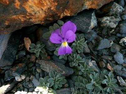 Flore de la Gela Sauvons la Gela !   Vallée d'Aure - Pyrénées   Scoop.it