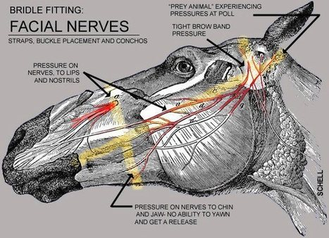 Facial Nerves and the Importance of Proper Bridle Fitting. | Equine | Scoop.it