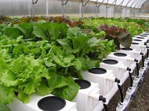 Growing Hydroponic Lettuce | Vertical Farm - Food Factory | Scoop.it