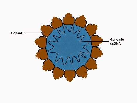 Virology tidbits: Porcine Circovirus: Autophagy. Nucleolus, and Apoptosis | Virology and Bioinformatics from Virology.ca | Scoop.it