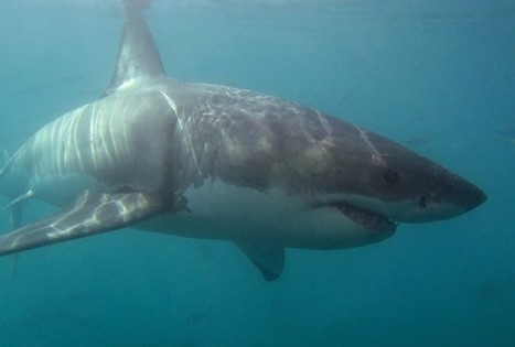 Australian Great White Sharks Are Actually Two Distinct Species - Science News - redOrbit | Indigo Scuba | Scoop.it