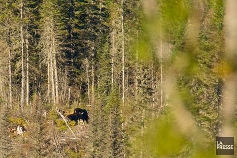 L'orignal, chez lui | Stéphanie Morin | Plein air | Biodiversity protection | Scoop.it