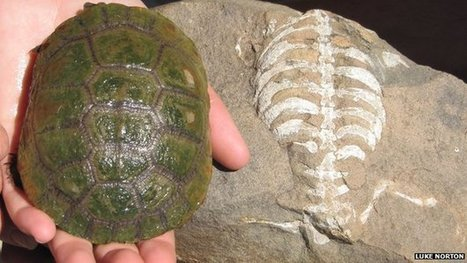 Fossil shows how turtle got a shell | Complex Insight  - Understanding our world | Scoop.it
