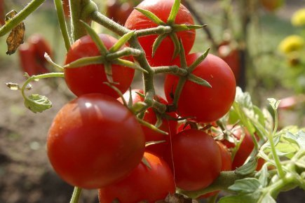 Un extrait de tomate pour améliorer la circulation sanguine | Nutrition | Gastronomie et alimentation pour la santé | Scoop.it