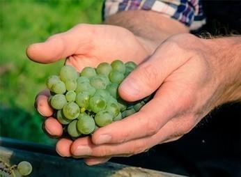 L'incroyable histoire des cépages interdits   Le site du journal L'âge de faire   Le Cognac et son vignoble   Scoop.it