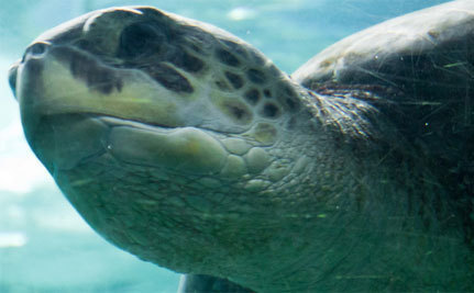 A Year After Boats Shatter His Shell, Turtle Swims Free | Hope | Scoop.it