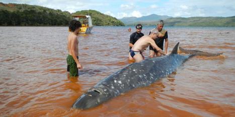 Nouvelle-Calédonie: des baleines d'une espèce rare s'échouent sur une plage | Mes passions natures | Scoop.it