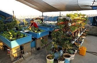 Faute d'espace, des habitants de Gaza cultivent des légumes sur leurs toits | Nature to Share | Scoop.it